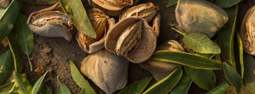 California Almond Community: 4 nuovi obiettivi per la coltivazione di mandorle