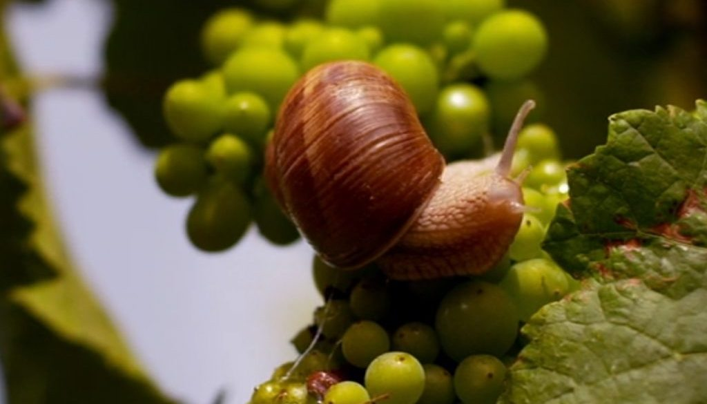da Somm: chiocciola e uva bianca